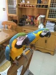 Gorgeous blue and gold macaw parrots for re homing